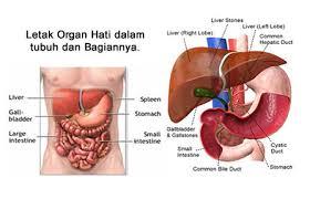 obat tradisional penyakit kanker hati